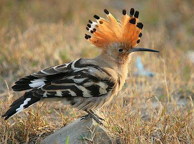 Burung Hud hud